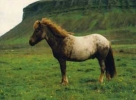 Stichelhaarig (Fuchs) Rauðlitföróttur